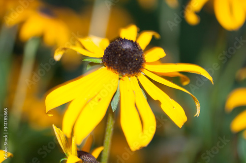 Fotografering Blackeyed Susan Flowers