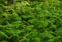 The Heavy Growth Of Ferns Covers The Forest Floor, Along The Hillside Overlooking Tunnel Trail Campground, Wilton, Wisconsin, Are Broken Only By The Trunks Of The Maple Trees