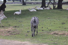 Cebra, Zebra