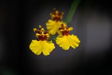 Nice Yellow Dancing Mini Orchi...