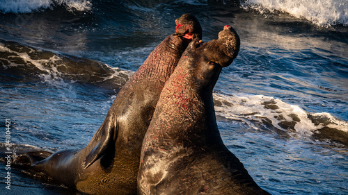 Slika na platnu Elephant Seals of San Simeon. Males fighting for dominating