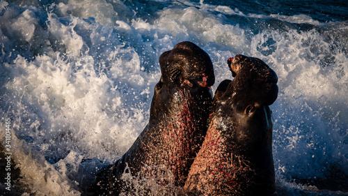 Valokuvatapetti Elephant Seals of San Simeon. Males fighting for dominating