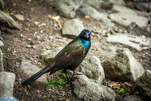Beautiful Common Grackle On Riverbank.