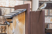 Two House Sparrows Guarding A ...