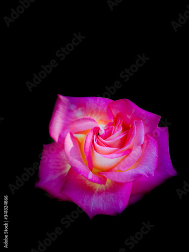 Photo valentin rose fleur nature isolé blanche noir rouge jaune unique  seul pétale mu