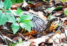 Turtles In Natural Florida Hab...