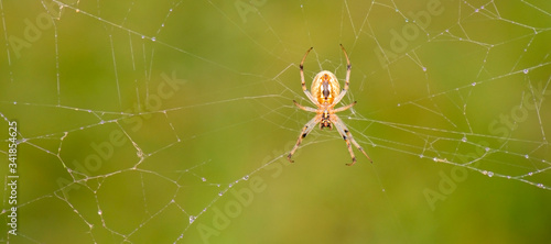 Orb Web Weavers also known by Genus Eriophora and Araneus Canvas Print
