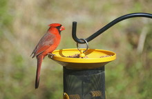 A Male Red Cardinal Eating See...