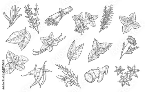 Fototapeta Cooking spices and herb seasonings, vector sketch icons. Herbal condiments and culinary flavorings, cinnamon, vanilla and chili pepper, anise and mint, basil, oregano and bay leaf, dill and parsley obraz