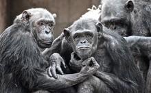 Chimpanzees In Zoo
