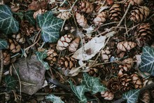 High Angle View Of Pine Cones By Ivy On Field