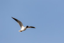 Screaming Seagull In Flight