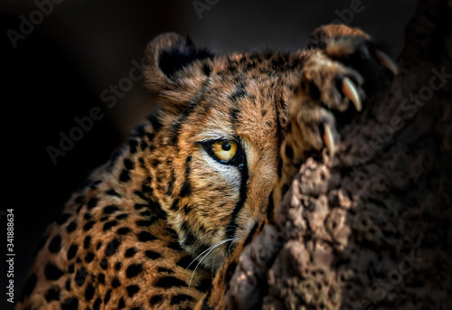 Fotomural Cheetah hiding behind a rock