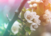 Branch Of A Blossoming Pear Tr...