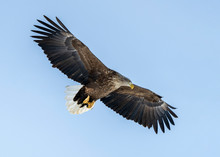 White Tailed Sea Eagle In Rausu, Hokkaido Where These Magnificient Eagles Can Be Observed In Close Proximity.