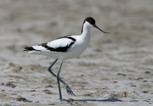 The Pied Avocet (Recurvirostra Avosetta) Stands On The Sand And Looks At Camera. Close Up Photo