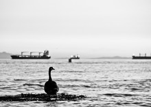 Canada Goose In Sea Against Clear Sky
