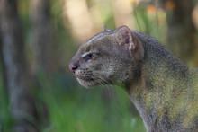 Jaguarundi (Herpailurus Yagouaroundi)