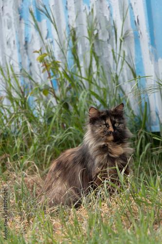 Fototapeta A multi-colored wild cats walks outdoors. Sunny day, soil, green plants. Cute. obraz