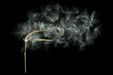 Close-up Of Dandelion Over Black Background