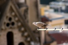 Mourning Dove Perching On Antenna Against Church