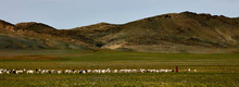 Sheep And Goats On A Pasture In Mongolia. Panorama Of The Pasture. Source Of Meat, Milk And Wool. Goat Cashmere And Cheese Are A Favorite Souvenir Of Tourists.