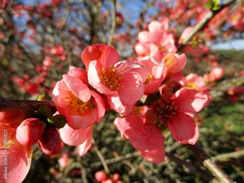 Photo Plan très rapproché d'une branche rose de cognassier du  Japon (Chaenomeles speciosa) en fleurs