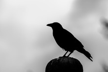 Silhouette Crow Perching On Po...
