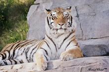 Portrait Of Tiger Sitting On Rock
