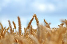 Close-up Of Ears Of Wheat In Field