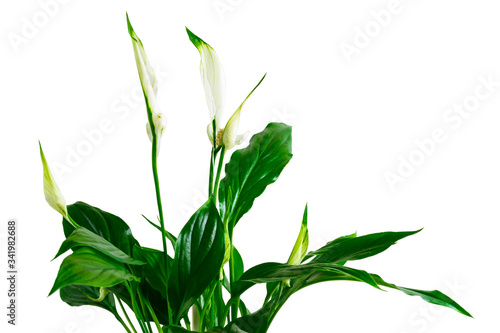 Photo Peace Lily house plant known as spathiphyllum or Spath with white flowers isolated on the white background
