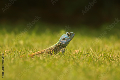 Blue Headed Tree Agama Lizard Canvas Print