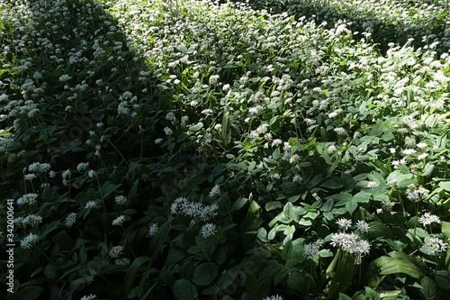 Foliage of wild garlic, also called ramsons or buckrams, latin name Allium Ursinum, growing in shade of broadleaf forest trees Billede på lærred