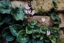 Pink Flowers Cyclamen On A Rag...