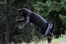Black Cat Jumping On Field