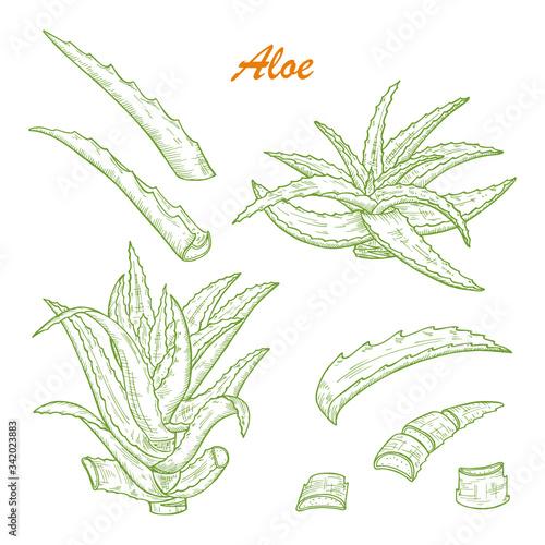 Photo Hand drawn engraving style Aloe Vera plant set