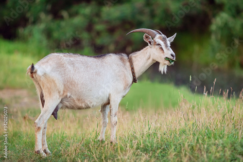 Photo A goat with horns eats grass in a pasture