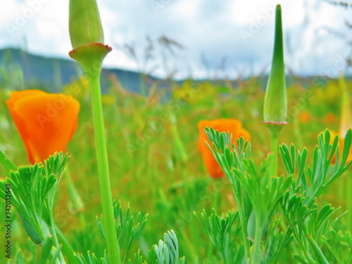 Fotografie, Obraz tulipán naranja