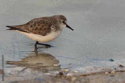 Valokuvatapetti Little Stint in Bauhair lake, Bahrain