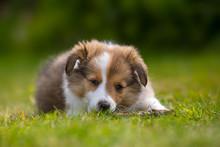Shetland Sheepdog Puppy Relaxing On Grassy Field