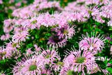 Outdoor Wild Bergamot Or Bee B...