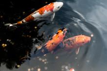 High Angle View Of Koi Carp Fish Swimming In Pond