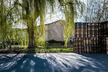 Weeping Willow By Stacked Pallets On Footpath