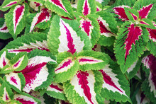 Solenostemon Or Coleus (Plectranthus Scutellarioides)  Cultivated For Variegated Leaves