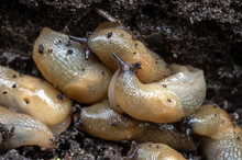 A Large Accumulation Of Slugs On The Ground. Selective Focus.