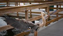 Great Blue Heron Fishing Off Bradenton Beach Fishing Pier In Florida.