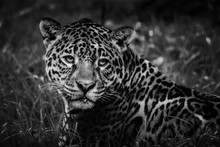 Close-up Of Jaguar Resting On Grassy Field At Zoo