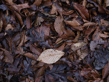 Rotting And Decomposing Leaves  On The Forest Floor In Late Autumn