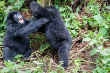 Cuccioli Di Gorilla Di Montagna Che Giocano