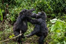 Cuccioli Di Gorilla Di Montagna